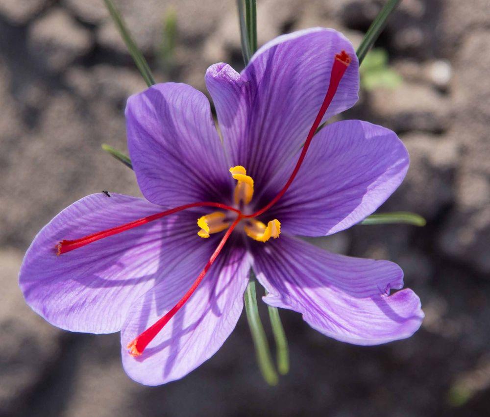 le safran: origine, qualité, cuisine. Fleur de safran