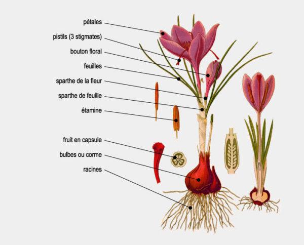 le safran: origine, qualité, cuisine. crocus sativus linnæus