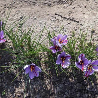 Safran des Aulnes Floraison