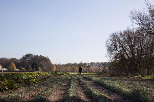 safranière à l'automne