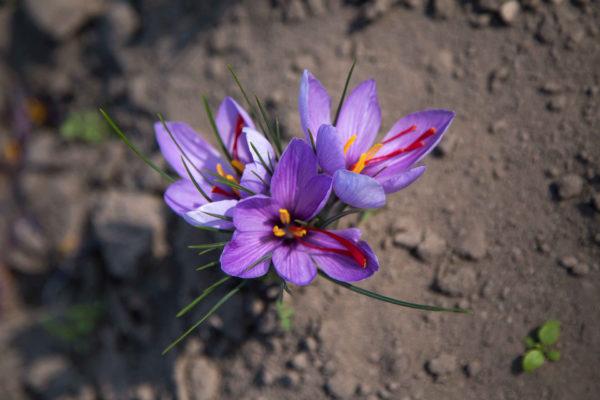 le safran: origine, qualité, cuisine. Fleurs de safran