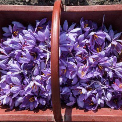 safran des aulnes fleurs